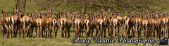 2016-05-04-019 (Andy Beattie Photography) Tags: uk england nature mammal photography europe photographer wildlife yorkshire deer halifax ungulate reddeer northyorkshire westyorkshire ripon eventoed pecora cervuselaphus hoofed andybeattie andybeattiephotography