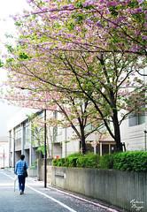 The last of the cherry blossoms (DameBoudicca) Tags: street pink flower tree fleur rose japan tokyo calle strada blossom flor rosa rbol  gata cherryblossom  sakura blomma nippon   shiba rue fiore albero blte arbre japon baum giappone nihon trd tokio japn kirschblte    fleursdecerisier strase  japanischekirschblte  krsbrsblomma fiorediciliegio flordelcerezo