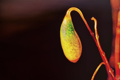 The Burning Of The Midnight Lamp (Alfred Grupstra Photography) Tags: macro fruit moss drops dof