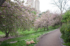 cherry blossoms, central park (Charley Lhasa) Tags: nyc newyorkcity flowers dog ny newyork petals pattern path iso400 centralpark manhattan noflash trail cherryblossoms blooms uncropped charley cherrytrees lightroom lhasaapso nycparks 3stars kwanzan aperturepriority kwanzancherry dng flagged grii fallenpetals adobelightroom 0ev charleylhasa 183mm ricohgrii secatf28 28mm35mmequivalent tumblr160512 lightroomcc201551 r006290 taken160505182438 uploaded160508141756 adobelightroomcc201551 httpstmblrcozpjiby26ngmi