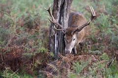 You Beauty (abnormally average) Tags: uk tree beautiful beauty animal stag wildlife surrey deer bracken caress scent poot abnormallyaverage pootar