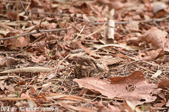 Indian Nightjar (Robbert met dubbel B) Tags: park india nature wildlife indian reserve safari national april 29 29th 2016 indische nightjar tigerreserve nationaal tadoba andhari nachtzwaluw hindoenachtzwaluw