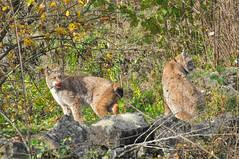 DSC_0496 (d90-fan) Tags: autumn animals tiere herbst hirsch braunbr brownbear geier waschbr wolfes luchs badmergentheim wlfe
