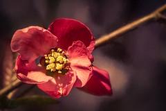 Quince.jpg (Pete Douglass) Tags: pink red flower macro closeup blossom bokeh bloom flowering shrub quince fruiting