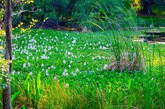 Water Hyacinth (ktrammell_photography) Tags: flowers nature water outdoors florida wildlife hyacinth