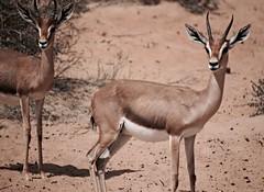 Desert Gazelle (pam's pics-) Tags: nature mammal dubai desert natural uae adventure arabia unitedarabemirates pammorris pamspics arabiangazelle dubaidesertconservationreserve sonya6000