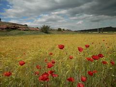 Colores del verano en Castilla. (elena m.d.) Tags: cereales castilla amapolas campossembrados