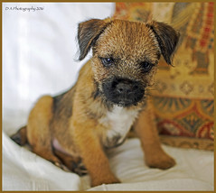 Rusty (dark-dawud) Tags: portrait dog puppy young rusty lincolnshire borderterrier mablethorpe