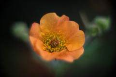 Orange geum (tonybill) Tags: flowers garden geum extensiontubes sonya7 jupiter8m39