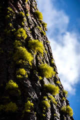 Lichen Tufts (Reptilian_Sandwich) Tags: wild tree nature angle hiking diagonal bark lichen tufts slant afternoonlight symbiosis fluorescentyellow
