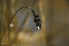 Silver Drop (kaeley.warren) Tags: autumn waterdrops straws