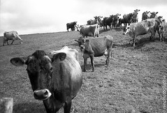 Intrt. (renphotographie) Tags: bw analog 35mm cows noiretblanc olympusxa vaches fougres fomapan200 filmisnotdead renphotographie lcousse