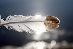 feather (svenja_i) Tags: blue light sky sun white lake weather animals see bokeh details zug lakeside find feathery wintersun lightweight niceweather brggli