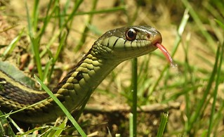 8861e2 checking me out--garter snake