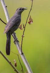Gray Catbird (Dumetella carolinensis) - Pitt Meadows, BC (bcbirdergirl) Tags: bc catbird graycatbird pittmeadows mimics greycatbird dumetellacarolinensis grantnarrows catbirdslough