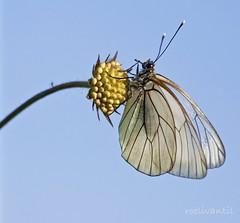 Groot geaderd witje / Black-veined White (Aporia crataegi) (roelivtil) Tags: butterfly blackveinedwhite