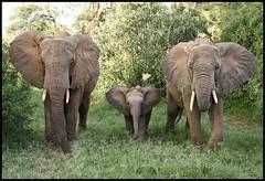 the flower child (JuttaMK) Tags: kenya explore samburu 2016 elephantwatchcamp mauekay