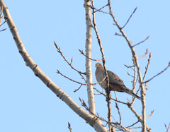 springtime on the Rock River Railway (turn off your computer and go outside) Tags: bird nature wisconsin outside outdoors march spring critter mourningdove wi baretrees earlyspring clearday 2016 rockriverrailwayjanesville birdsofminnesotaandwisconsinpage175