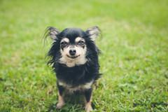 Emily (jr_moon) Tags: dog pet chihuahua cute animal dof bokeh hund haustier tinydog tiefenschrfe