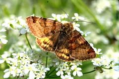 Euclidia glyphia (ursulamller900) Tags: macro butterfly extensiontubes braunetageule makroringe