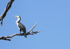 Pied Cormorant (The Pocket Rocket) Tags: australia nsw darlingriver menindee piedcormorant phalacrocoraxvarius