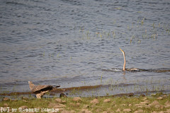 Indische Slangenhalsvogel (Robbert met dubbel B) Tags: park india nature photography fotografie wildlife indian natuur safari national april oriental darter 2016 indische tigerreserve nationaal tadoba andhari slangenhalsvogel