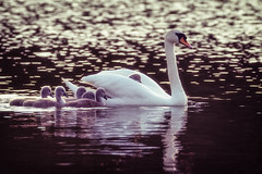 Family time (Chenxi Ni) Tags: lake swan aylesbury watermead