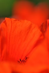Profondo rosso. (Cosimo Gugliersi) Tags: red macro nikon natura fiori rosso nikon90
