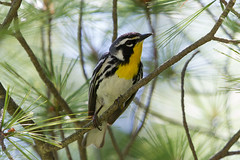 Yellow-throated Warbler (Bufflehead66) Tags: iowa woodwarbler wildcatden