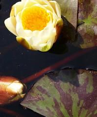 P6303724 (louisecrouch) Tags: nature water outdoors pond waterlilies waterplants lilypond waterflowers gardern