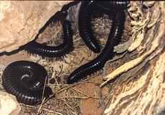 ...some more Kalahari millipedes. (jamakoza) Tags: kalahari millipede giantkalaharimillipede