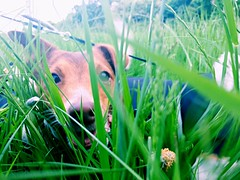 Hunting through the long grass (rhskeete) Tags: puppy terriers terrier jackrussell femaledog bitch playtime hiking walking walkies playing huntingharmless nature iluvmydogs