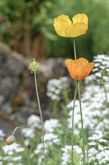 Golden poppies (Wouter de Bruijn) Tags: flowers plant flower nature amsterdam garden spring bokeh outdoor depthoffield poppy poppies fujifilm botanicalgarden hortusbotanicus californianpoppy goldenpoppy xt1 hortusamsterdam fujinonxf90mmf2rlmwr