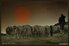 Composizione con pecore - Giugno-2016 (agostinodascoli) Tags: art nature photoshop landscape nikon digitalart persone digitalpainting nikkor paesaggi animali sicilia pecore gregge cianciana agostinodascoli