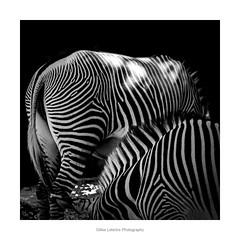 black and white pajamas (gillouvannes56) Tags: zebra zèbre noiretblanc beauval zoo parc animalier animals animaux canon 7d light lumière colors couleurs abstrait