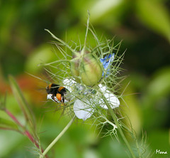 Objectif pollen (**Mona**) Tags: fleur jardin insecte bourdon nigellededamas dupollenpleinlespattes