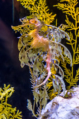 Leafy Seadragon (Matthew Warner) Tags: california fish aquarium sandiego ucsd scrippsaquarium geolocation geocity geocountry camera:make=nikoncorporation exif:make=nikoncorporation geostate exif:aperture=80 camera:model=nikond3200 exif:model=nikond3200 exif:focallength=60mm exif:isospeed=1600 exif:lens=1801400mmf3556 geo:lat=3286576 geo:lon=11725067