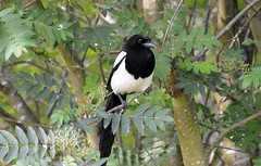 Magpie  (4) (John Carson Essex R.I.P. John and thank you for be) Tags: thegalaxy supersix rainbowofnature thegalaxystars