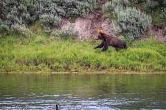 Happy Bear (Samantha Decker) Tags: nps wildlife yellowstonenationalpark wyoming ynp wy grizzlybear canonef100400mmf4556lisusm canoneos60d samanthadecker