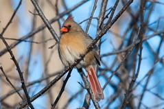 2016 Northern Cardinal 8 (DrLensCap) Tags: chicago bird robert point illinois cardinal il montrose northern kramer sanctuary