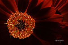Orange Gerber (Bob.Hurley - Fotografiestudent) Tags: flowers red orange macro colors canon colours flash 100mm 5dmkiii spring2016
