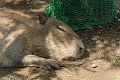 20160618 Izu Shaboten Park 1 (BONGURI) Tags: animal zoo nikon nap sleep jp ito  shizuoka  capybara deepsleep           izushabotenpark d3s afsvrzoomnikkored70200mmf28gif