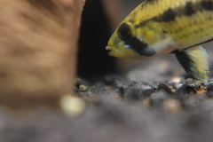 Apistogramma sp. ? - female herding her fry (byndrbgr) Tags: fish animal female turkey anne aquarium fry babies dwarf peces trkiye mother istanbul fisch breeding mutter papagei larva tier aquario cichlid zwerg nachwuchs weibchen larve hayvan akvaryum bebekler balk dii buntbarsch zucht apistogramma retim aquarien apisto pebas cce zwergbuntbarsch dwarfcichlid iklet ccecichlid cceiklet apistogrammasp ortegai apistogrammaortegai apistogrammacfortegai akvaryumcom