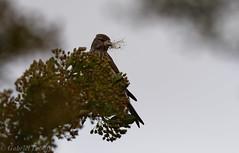 Linotte melodieuse-Linaria cannabina - Common Linnet 2964.jpg (Zoizeaux de Gabriel) Tags: arige commonlinnet mazres linottemlodieuse lesamisdudomainedesoiseaux linariacannabina