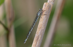 COMMON BLUE - FEMALE (Hummingbird C) Tags: damselfly whiteleggeddamselfly miltonkeyneswildlife linfordlakesnaturereserve