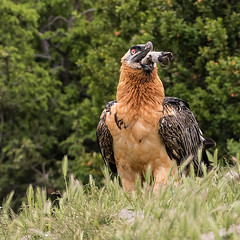 A Bearded Vulture swallows a goat's foot (Oliveira Pires) Tags: catalua pireneu beardedvulture gypaetusbarbatus quebraossos lammergeir britaossos quebrantahuesus