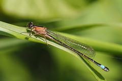Sunbathing....... (klythawk) Tags: nottingham pink blue brown sunlight white black green nature female reeds spring shadows olympus 60mm immature damselfly omd em1 bluetailed rufescens ischnuraelegans colwickpark klythawk