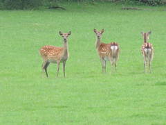 UK - Kent - Near Oldbury - Roe deer (JulesFoto) Tags: uk england kent clog centrallondonoutdoorgroup oldbury roedeer