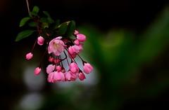 flower 832 (kaifudo) Tags: flower macro japan sapporo nikon hokkaido bokeh sigma  d750 botanicalgarden  150mm malushalliana    sigmaapomacro150mmf28 hallcrabapple