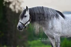 Rey (Hestefotograf.com) Tags: summer horse white norway caballo cheval cavalo pferd stallion whitehorse equine equus paard purarazaespanola hestefotograf